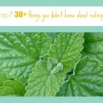 What is Catnip? 30+ Things You Didn't Know About Catnip