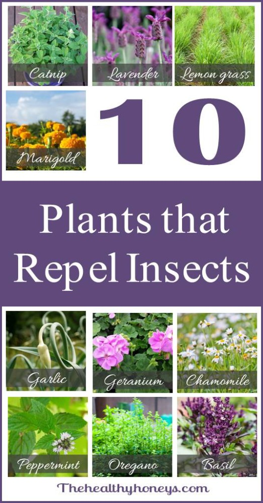 Pinning It Here Plants That Repel Insects