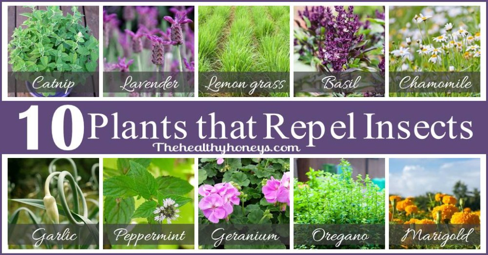 Top 10 Plants That Repel Unwanted Insects The Healthy Honeys